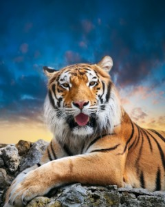 17014865 - tiger on the sky background